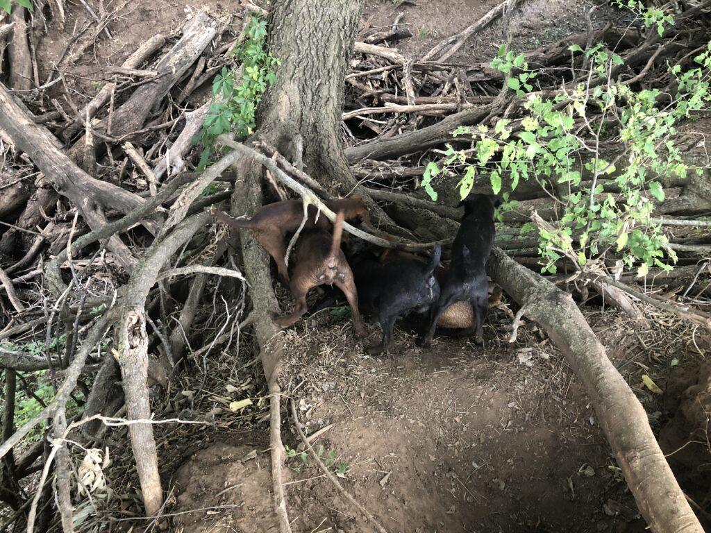 Pups Working A Possum